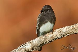 Seasons with a Black Phoebe